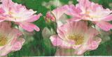 KV 084 - ubrousek 25x25 - růžový květ